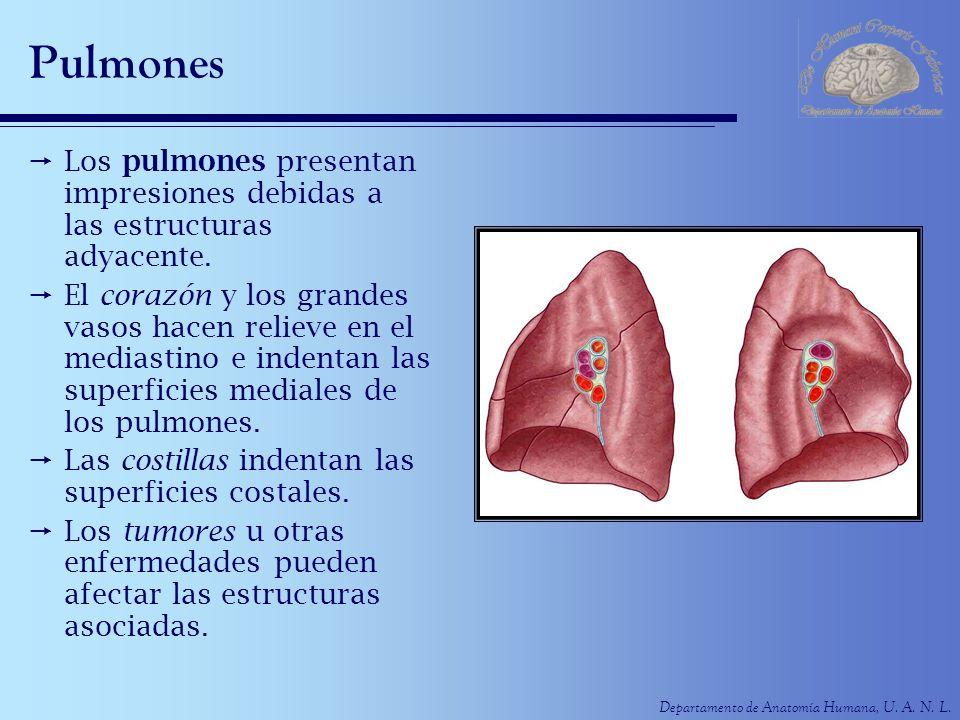 PulmonesLos pulmones presentan impresiones debidas a las estructuras adyacente.