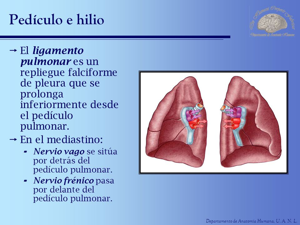 Pedículo e hilio El ligamento pulmonar es un repliegue falciforme de pleura que se prolonga inferiormente desde el pedículo pulmonar.