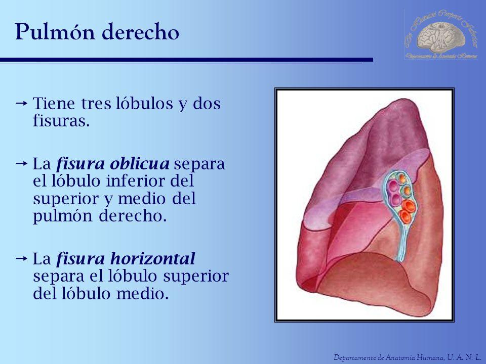 Pulmón derecho Tiene tres lóbulos y dos fisuras.