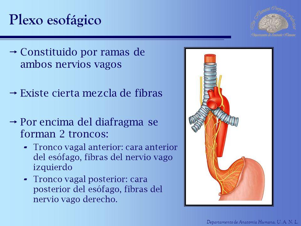 Plexo esofágico Constituido por ramas de ambos nervios vagos