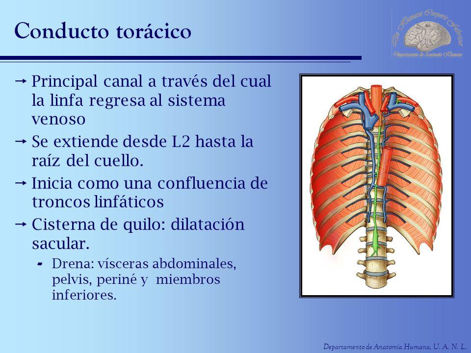 Conducto torácico Principal canal a través del cual la linfa regresa al sistema venoso. Se extiende desde L2 hasta la raíz del cuello.