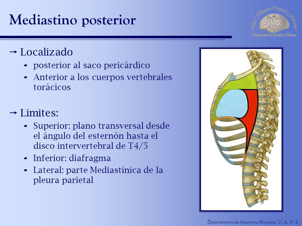 Mediastino posterior Localizado Limites: posterior al saco pericárdico