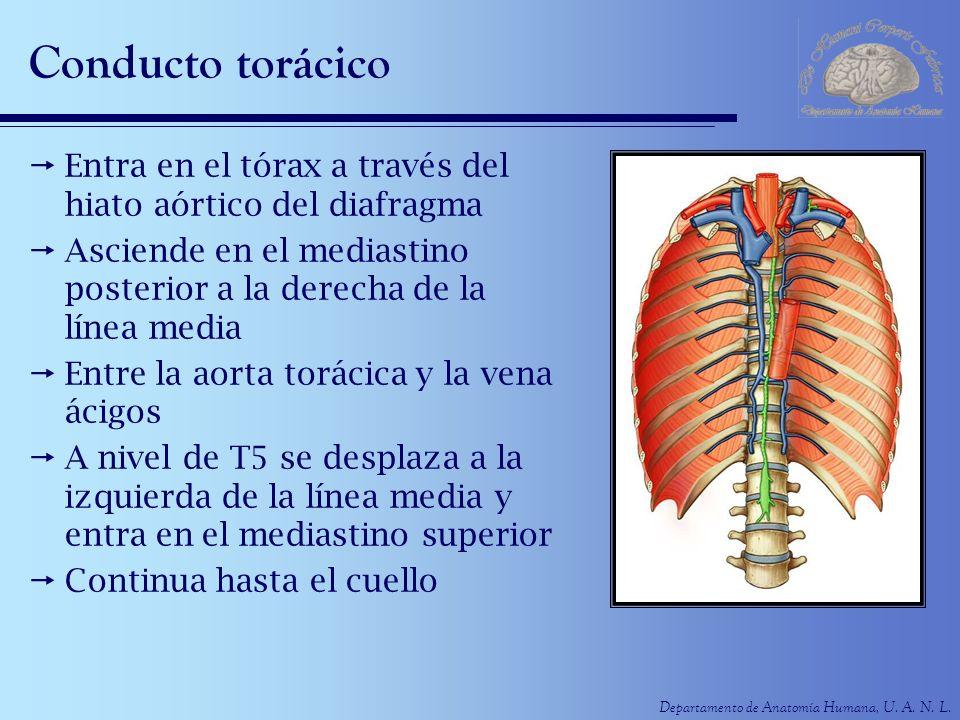 Conducto torácico Entra en el tórax a través del hiato aórtico del diafragma. Asciende en el mediastino posterior a la derecha de la línea media.
