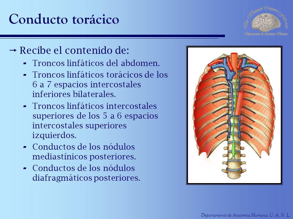 Conducto torácico Recibe el contenido de: