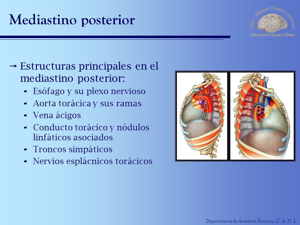 Mediastino posterior Estructuras principales en el mediastino posterior: Esófago y su plexo nervioso.