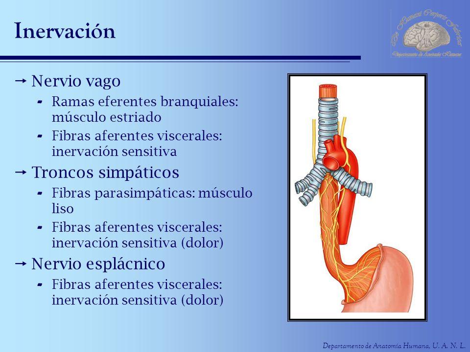 Inervación Nervio vago Troncos simpáticos Nervio esplácnico