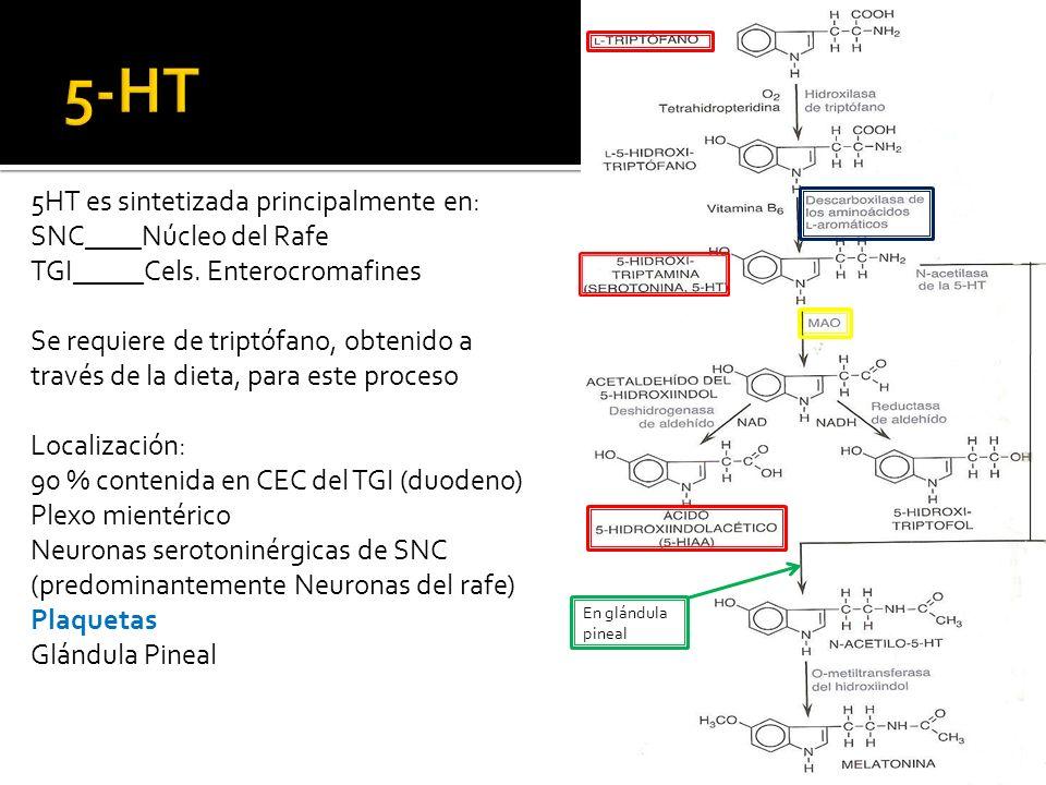 5-HT 5HT es sintetizada principalmente en: SNC____Núcleo del Rafe