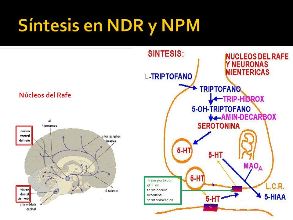 Síntesis en NDR y NPM L- Núcleos del Rafe