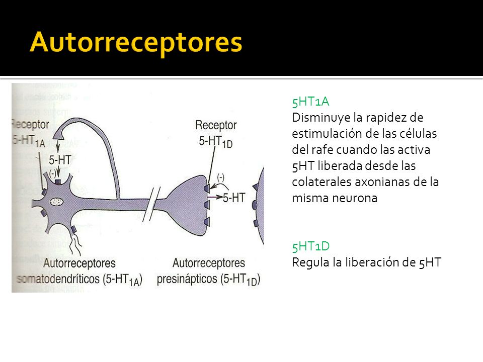 Autorreceptores 5HT1A.