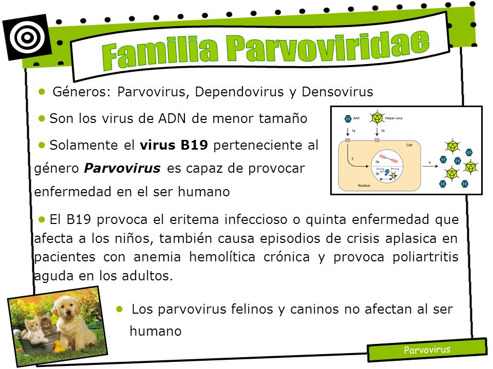 Familia Parvoviridae Géneros: Parvovirus, Dependovirus y Densovirus
