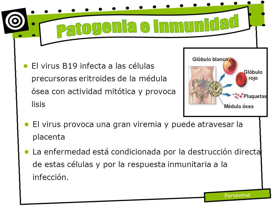 Patogenia e Inmunidad El virus B19 infecta a las células precursoras eritroides de la médula ósea con actividad mitótica y provoca lisis.