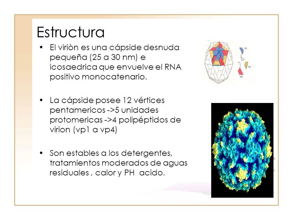 Estructura El viriòn es una cápside desnuda pequeña (25 a 30 nm) e icosaedrica que envuelve el RNA positivo monocatenario.