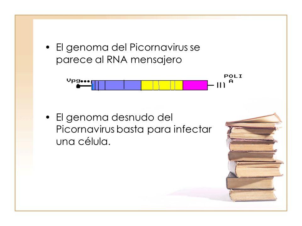 El genoma del Picornavirus se parece al RNA mensajero