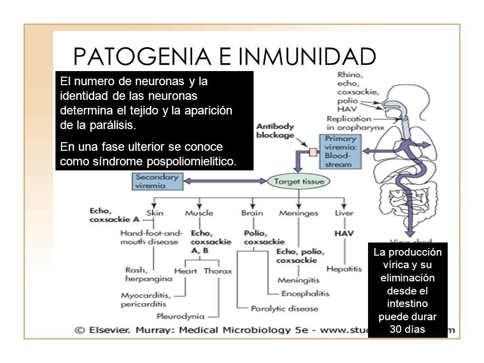 PATOGENIA E INMUNIDAD El numero de neuronas y la identidad de las neuronas determina el tejido y la aparición de la parálisis.