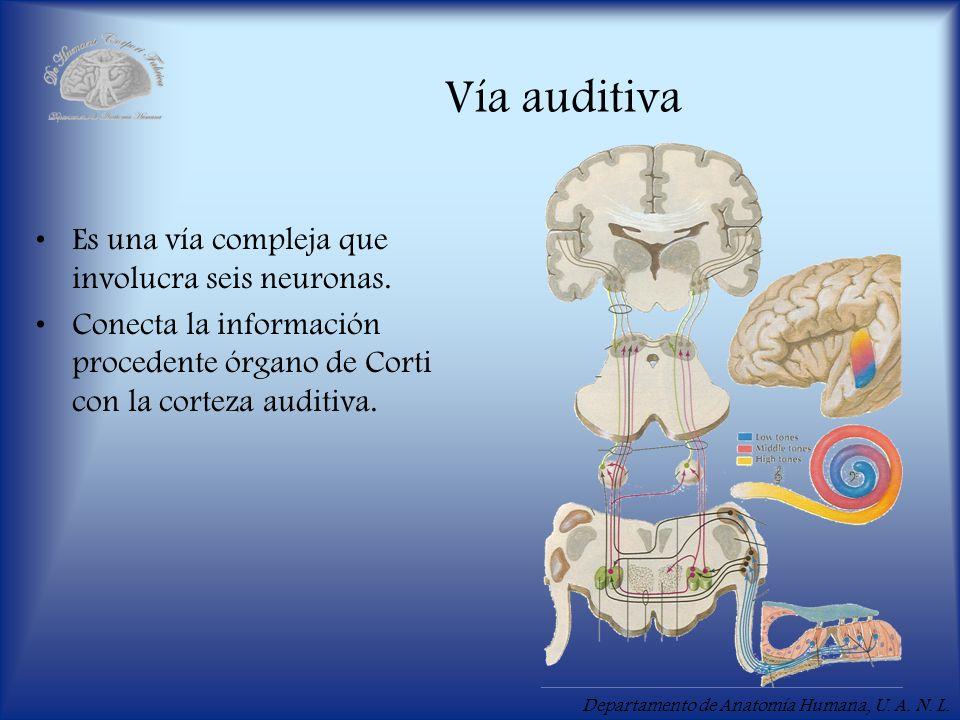 Vía auditiva Es una vía compleja que involucra seis neuronas.
