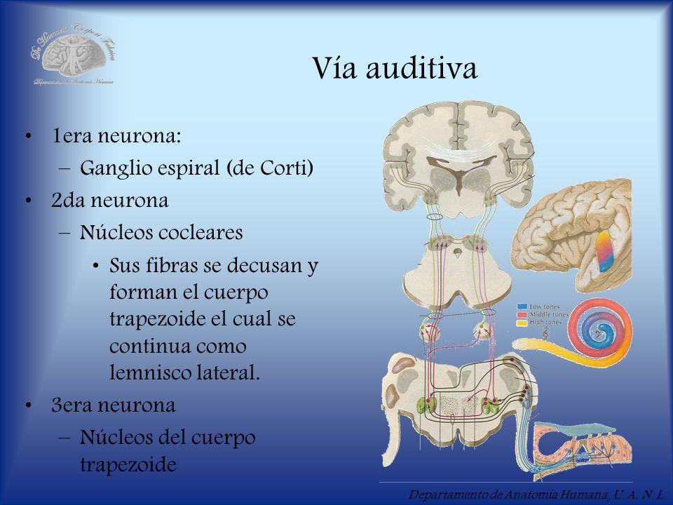Vía auditiva 1era neurona: Ganglio espiral (de Corti) 2da neurona
