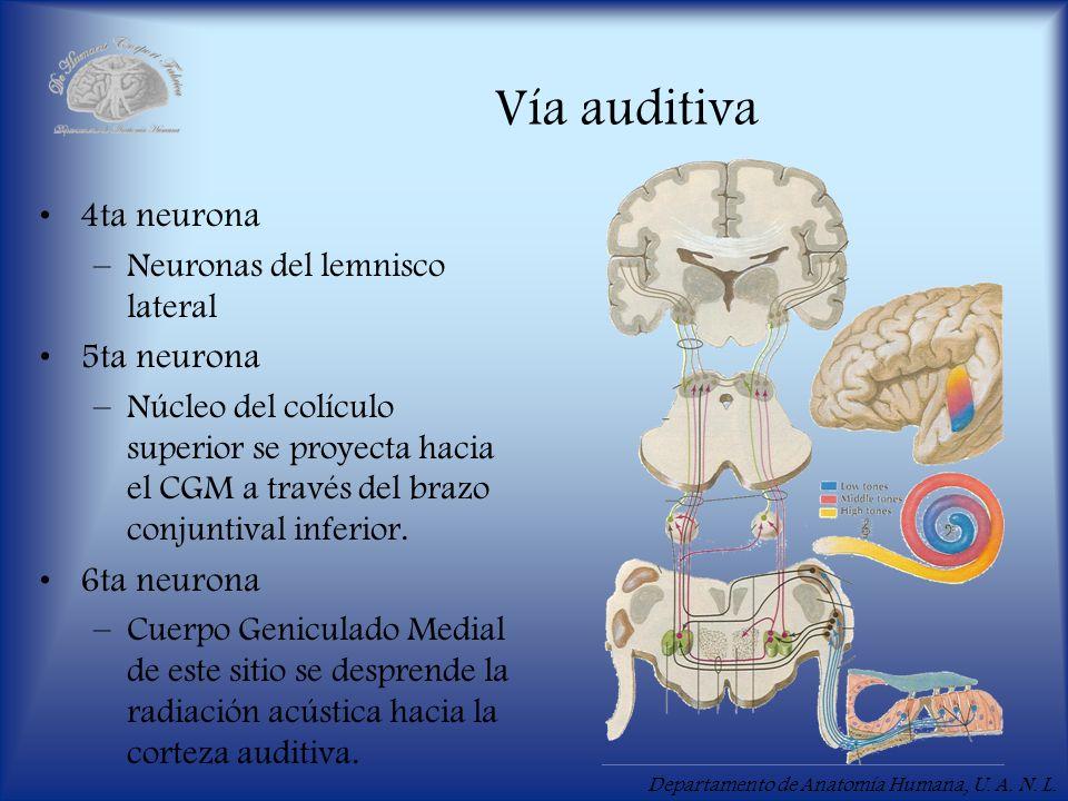Vía auditiva 4ta neurona 5ta neurona 6ta neurona