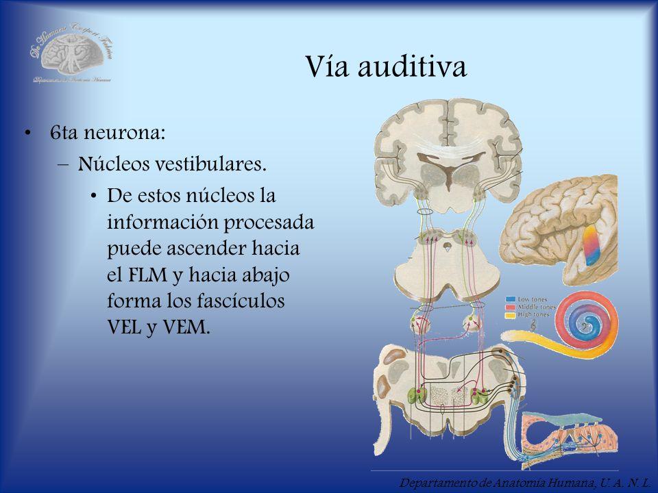 Vía auditiva 6ta neurona: Núcleos vestibulares.