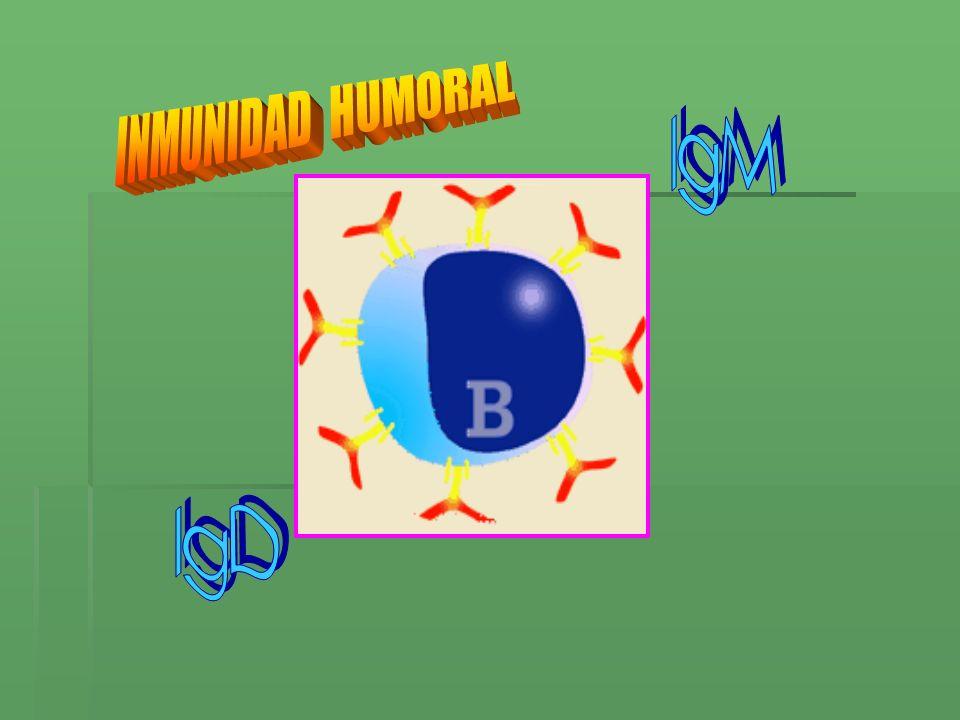 INMUNIDAD HUMORAL IgM IgD