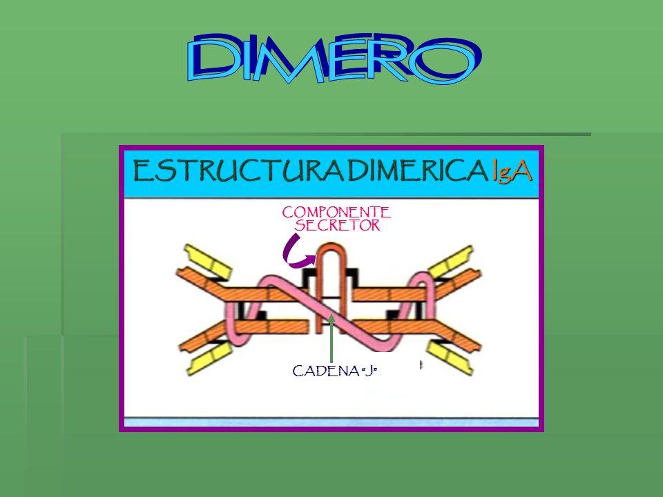 ESTRUCTURA DIMERICA IgA