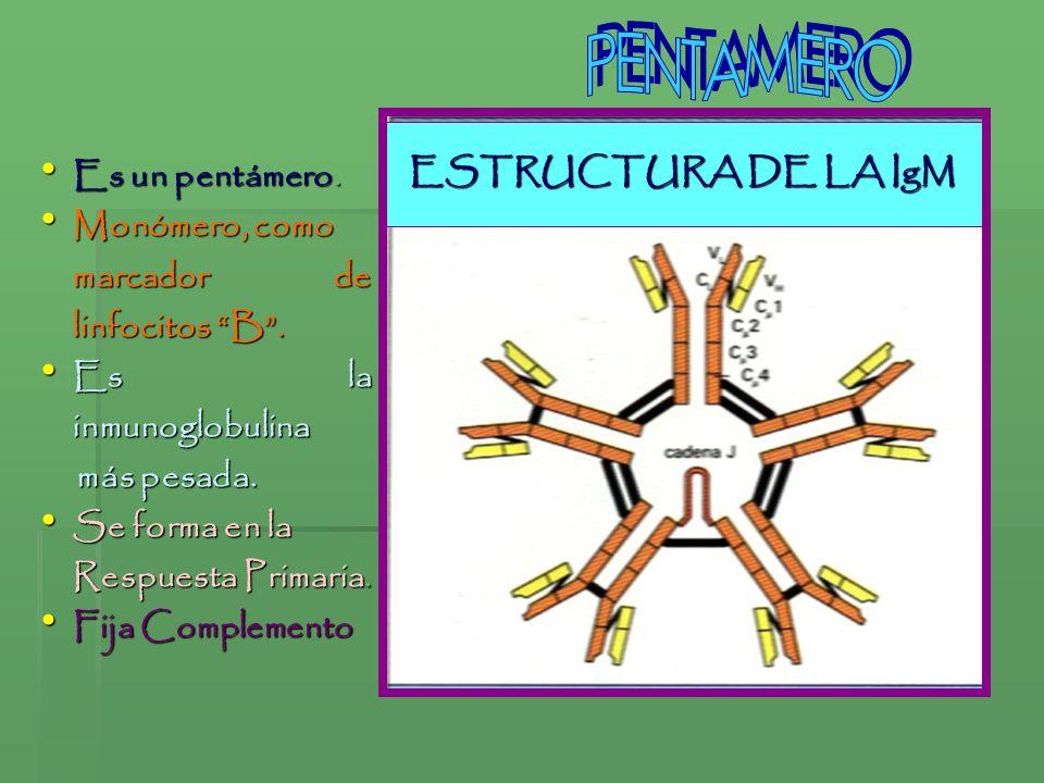 PENTAMERO ESTRUCTURA DE LA IgM Es un pentámero. Monómero, como