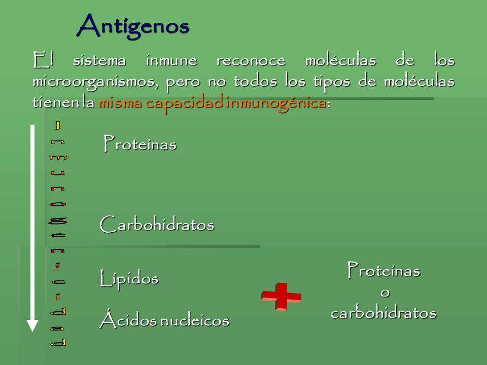 Antígenos Inmunogenicidad +
