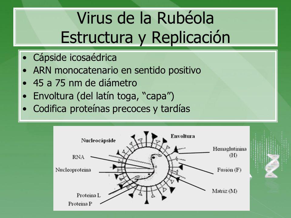 Virus de la Rubéola Estructura y Replicación