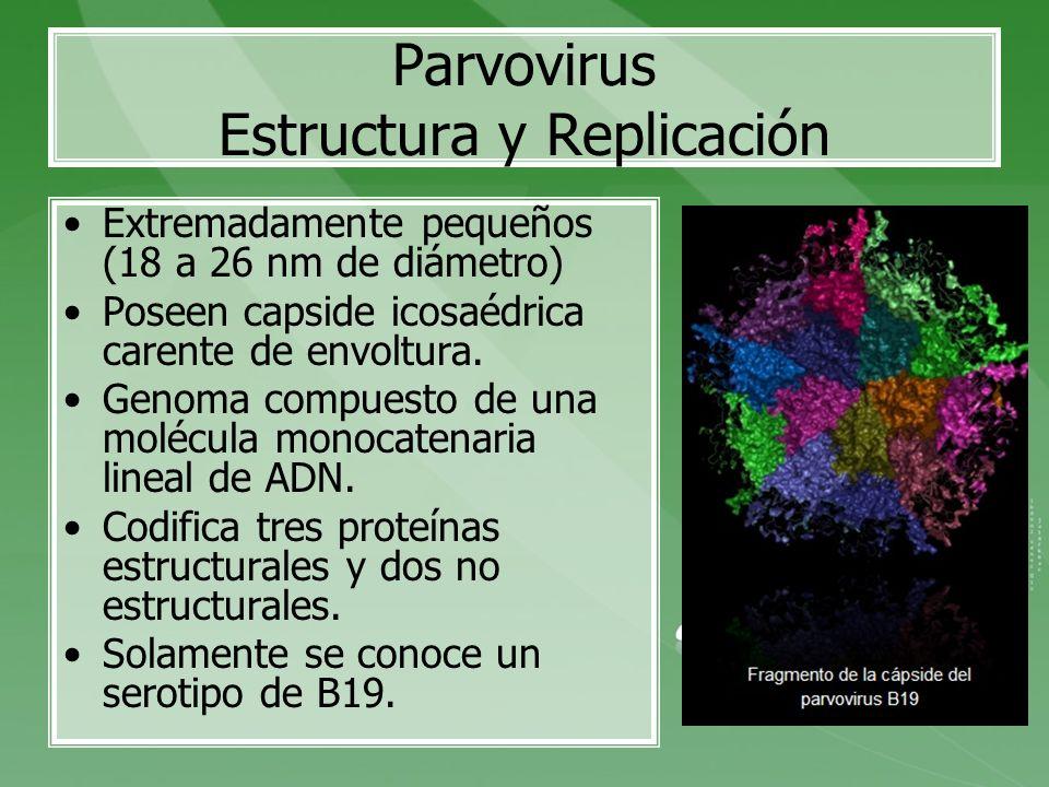 Parvovirus Estructura y Replicación