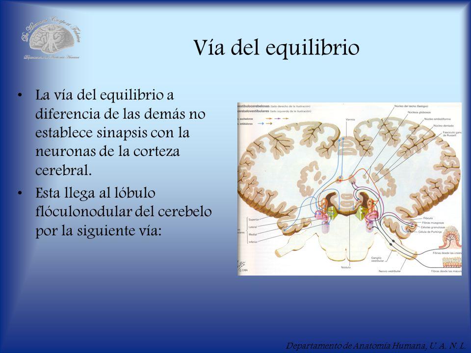 Vía del equilibrio La vía del equilibrio a diferencia de las demás no establece sinapsis con la neuronas de la corteza cerebral.