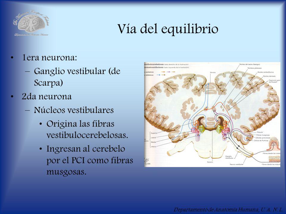 Vía del equilibrio 1era neurona: Ganglio vestibular (de Scarpa)