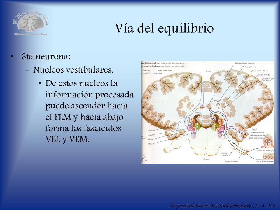 Vía del equilibrio 6ta neurona: Núcleos vestibulares.