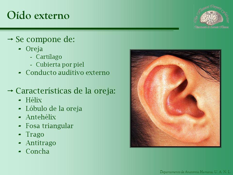 Oído externo Se compone de: Características de la oreja: Oreja