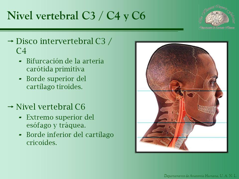 Nivel vertebral C3 / C4 y C6 Disco intervertebral C3 / C4