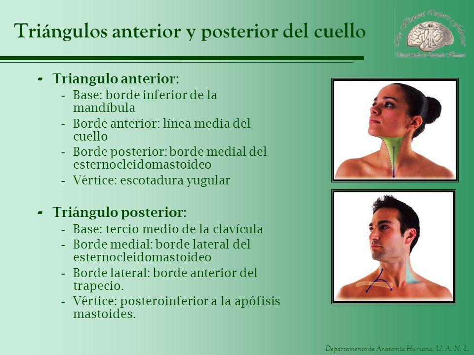 Triángulos anterior y posterior del cuello