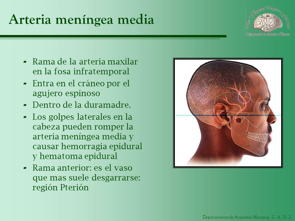 Arteria meníngea media