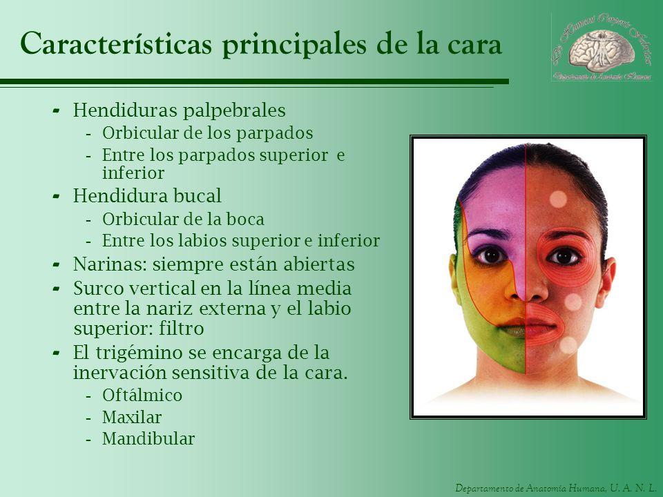 Características principales de la cara