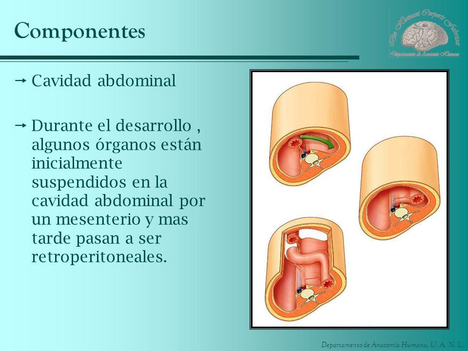 Componentes Cavidad abdominal