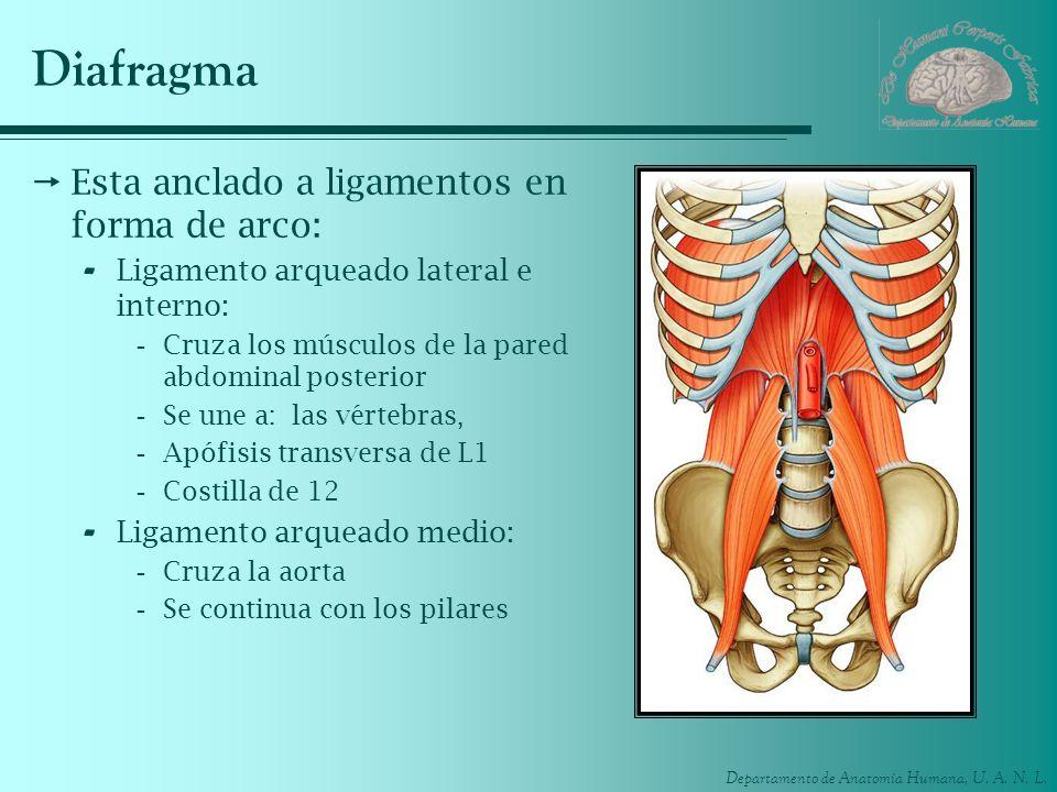Diafragma Esta anclado a ligamentos en forma de arco:
