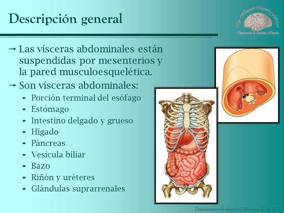 Descripción general Las vísceras abdominales están suspendidas por mesenterios y la pared musculoesquelética.