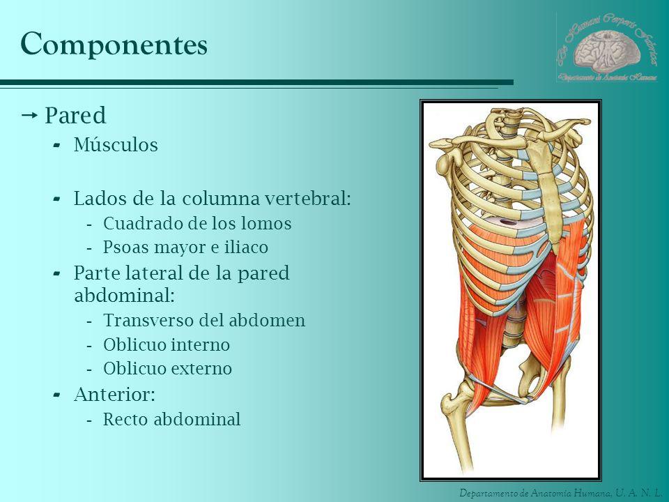 Componentes Pared Músculos Lados de la columna vertebral:
