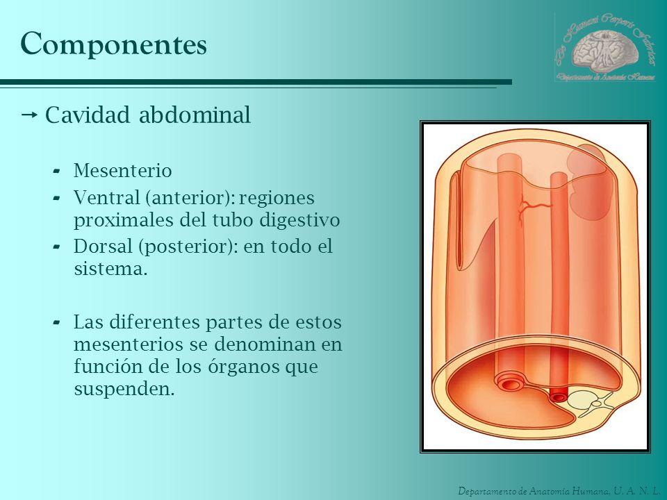 Componentes Cavidad abdominal Mesenterio