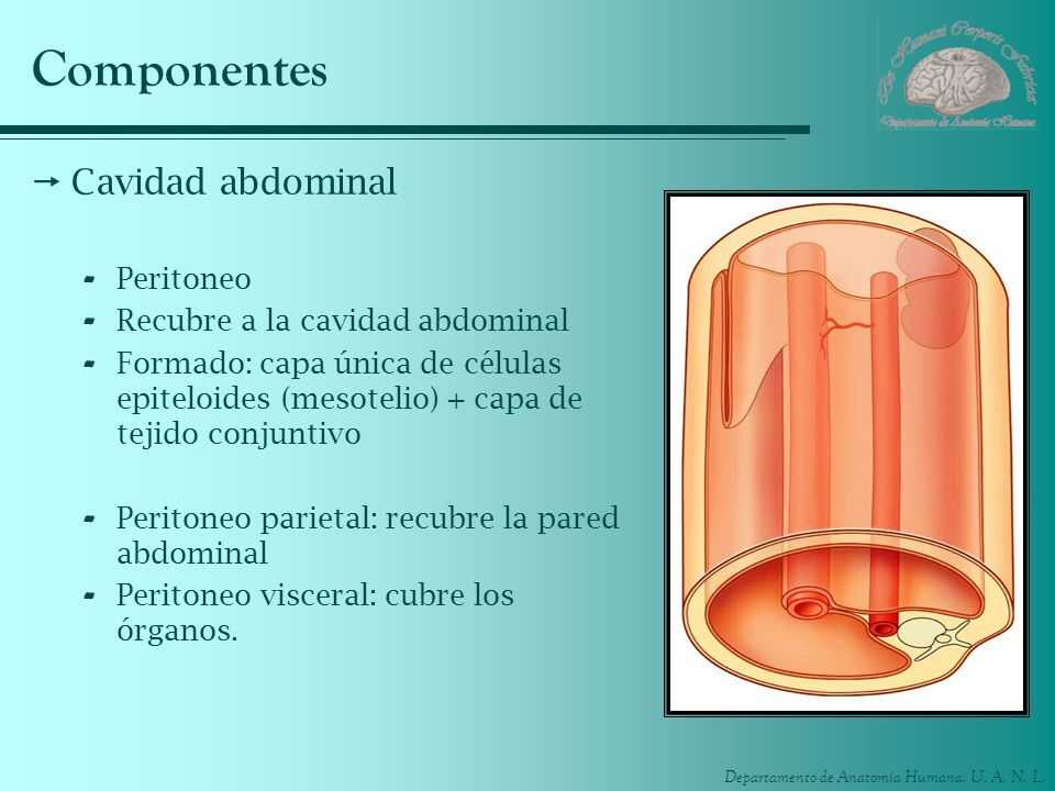 Componentes Cavidad abdominal Peritoneo Recubre a la cavidad abdominal