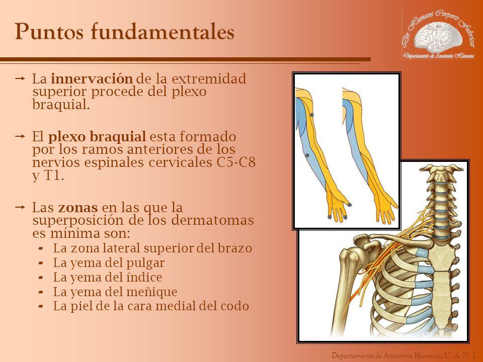 Puntos fundamentales La innervación de la extremidad superior procede del plexo braquial.