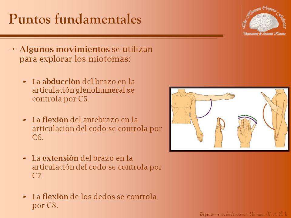 Puntos fundamentales Algunos movimientos se utilizan para explorar los miotomas: