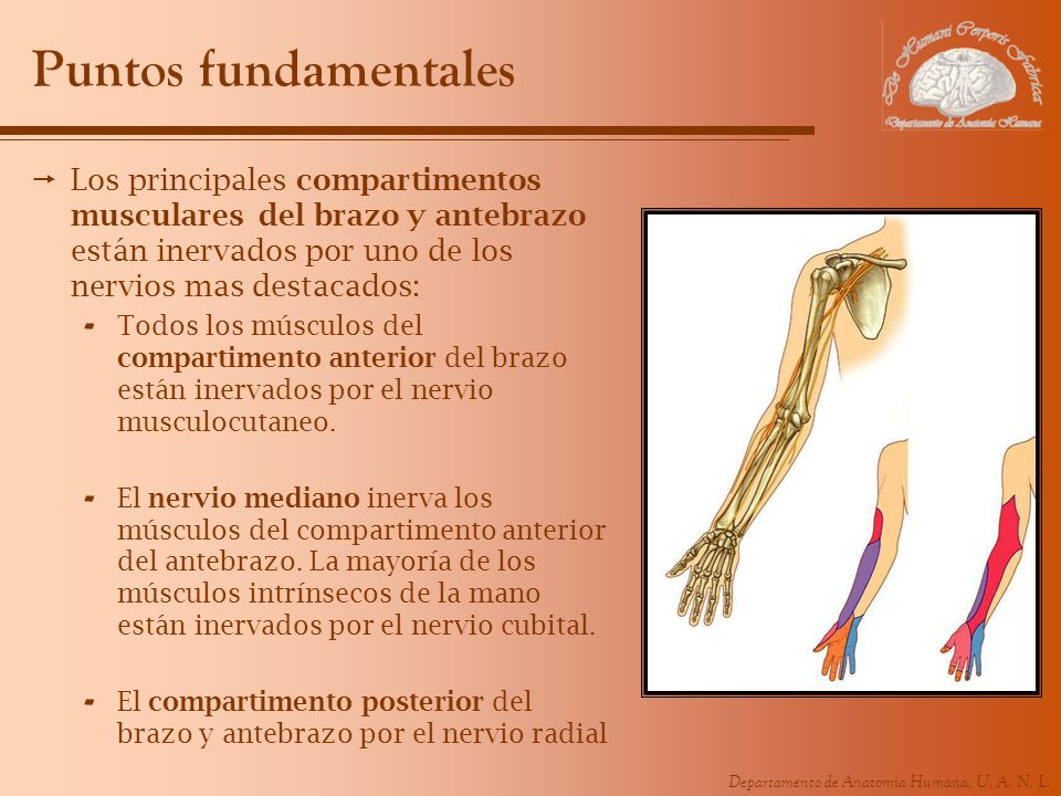 Puntos fundamentales Los principales compartimentos musculares del brazo y antebrazo están inervados por uno de los nervios mas destacados: