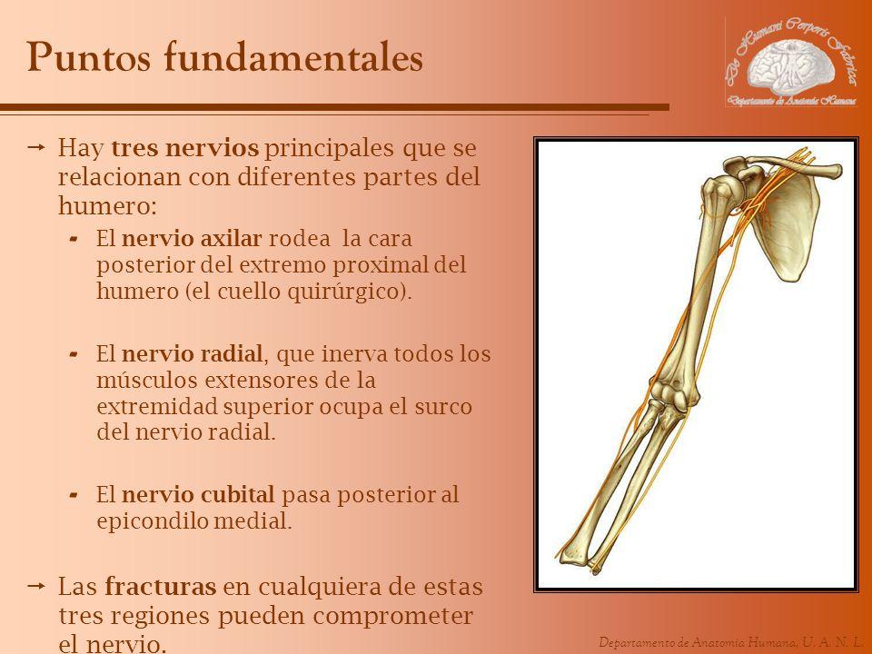 Puntos fundamentales Hay tres nervios principales que se relacionan con diferentes partes del humero: