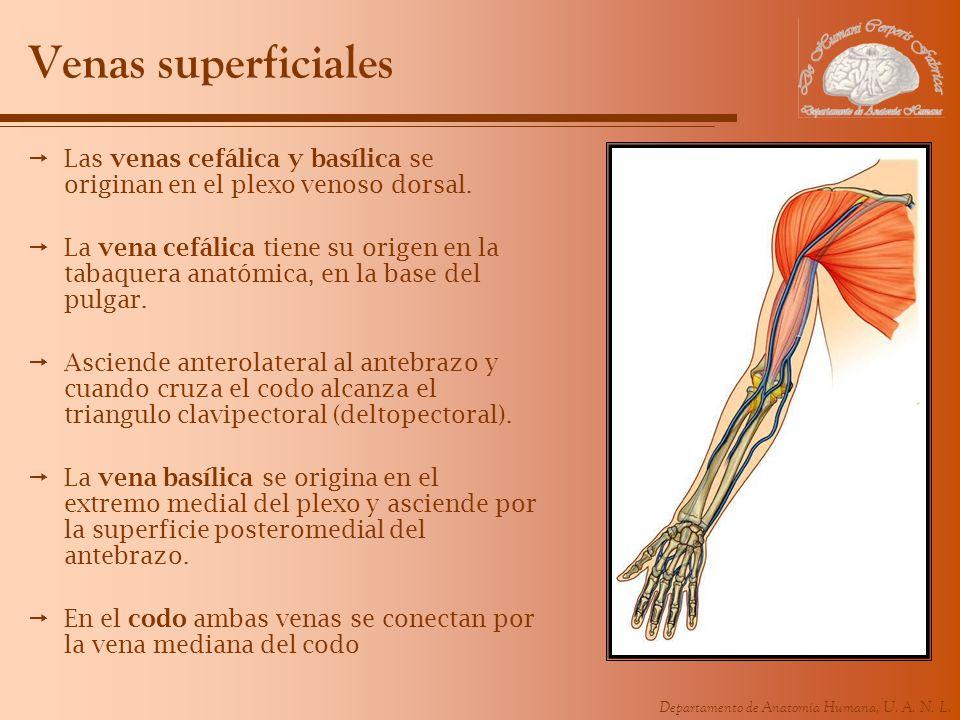 Venas superficiales Las venas cefálica y basílica se originan en el plexo venoso dorsal.
