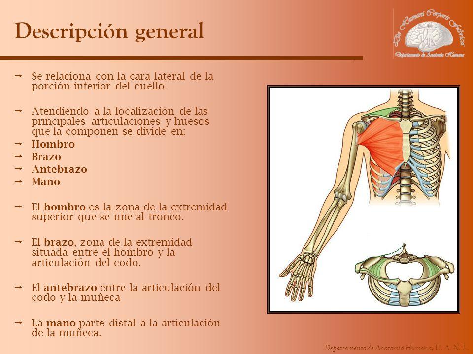 Descripción general Se relaciona con la cara lateral de la porción inferior del cuello.