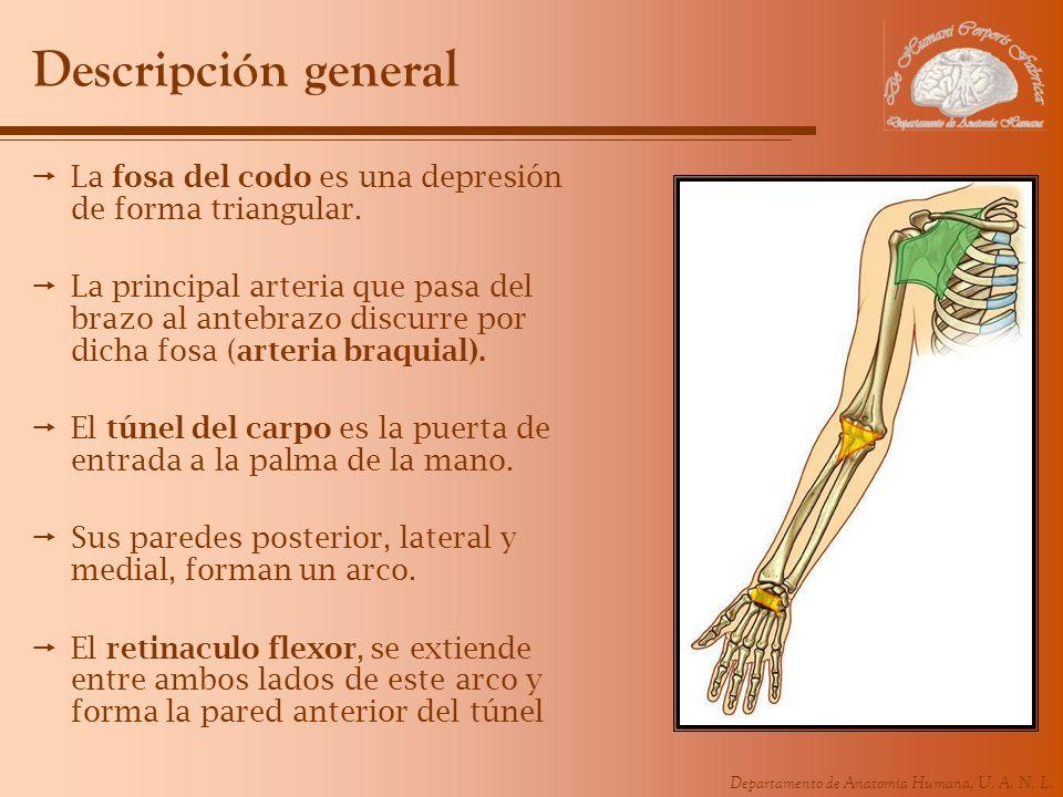 Descripción general La fosa del codo es una depresión de forma triangular.