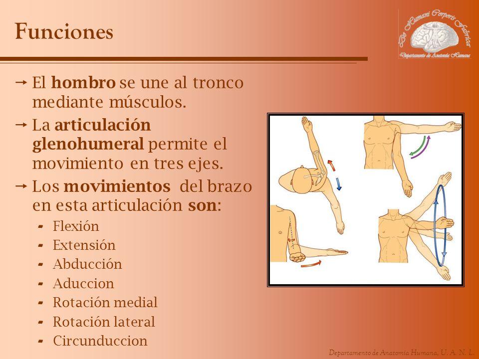 Funciones El hombro se une al tronco mediante músculos.